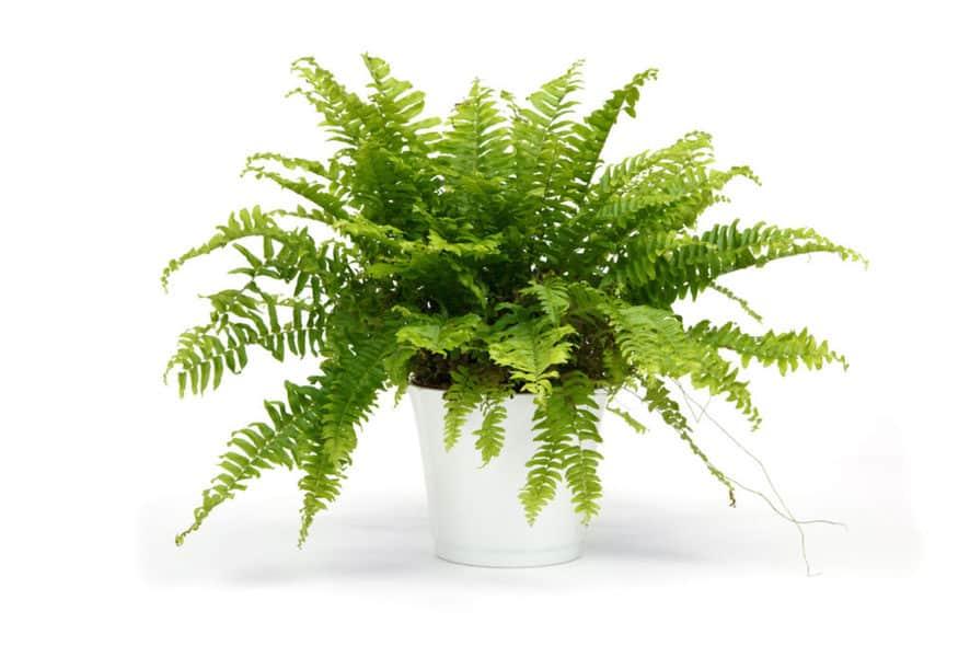 Resistant Indoor Plants - boston fern