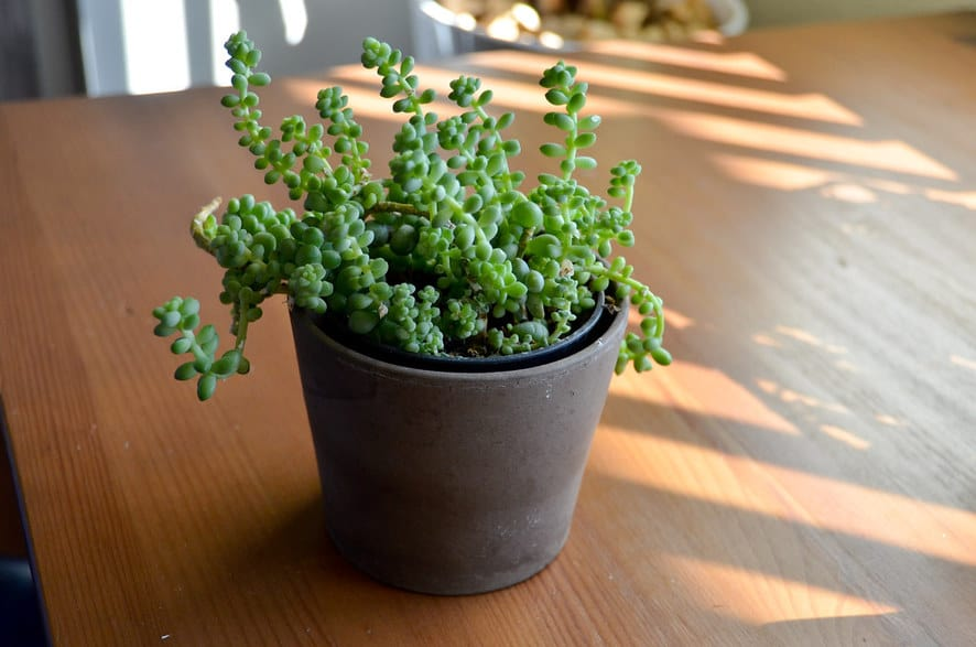 Hardy Indoor Plants - burros tail