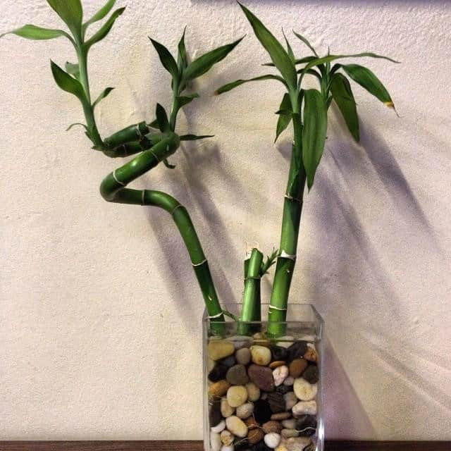 caring for lucky bamboo - SOIL MEDIUM