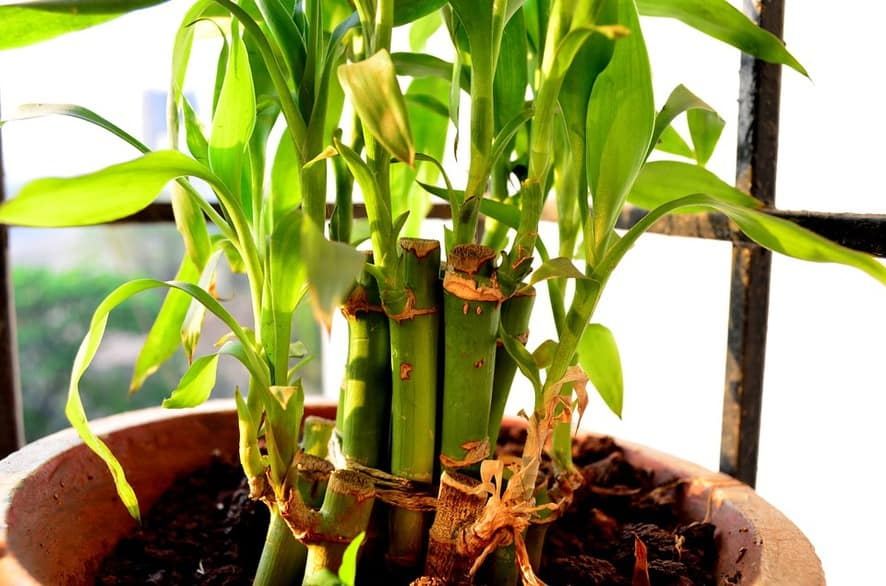 caring for lucky bamboo - TYING STALKS