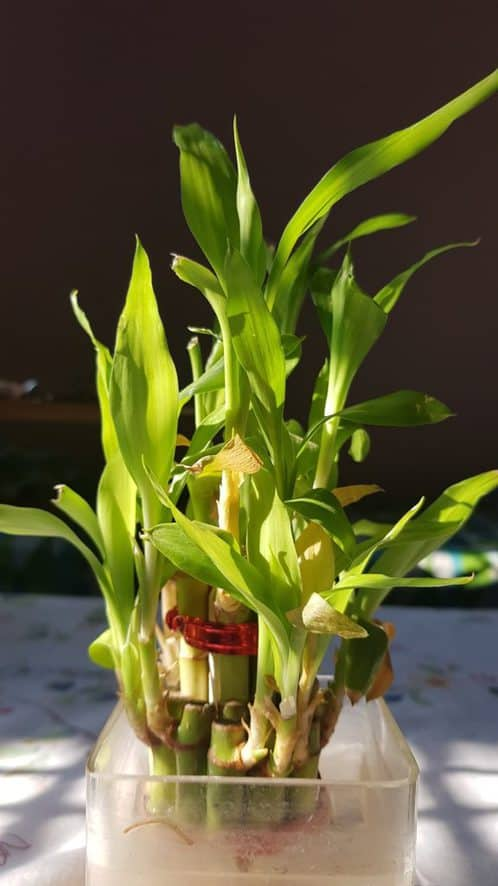 caring for lucky bamboo - WATER MEDIUM