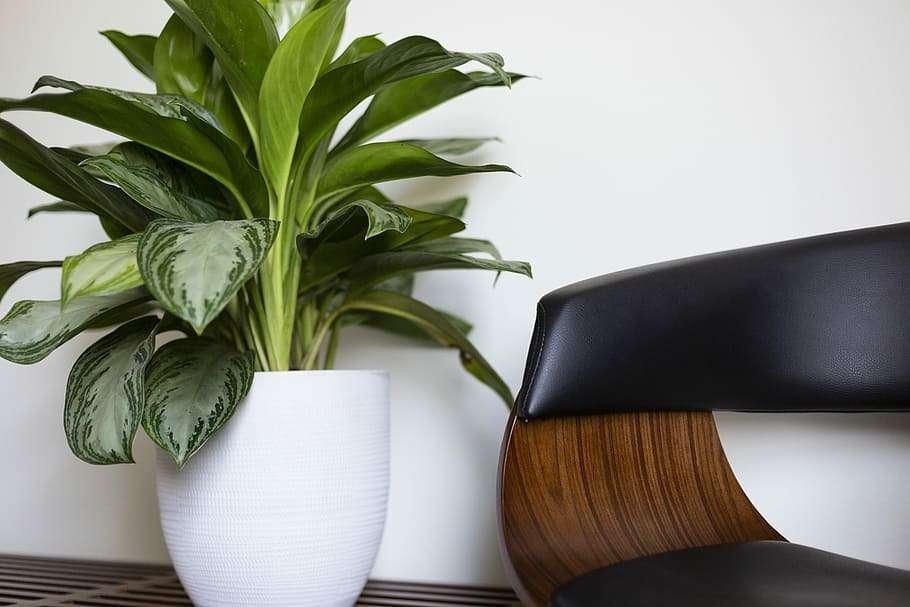 Resistant Indoor Plants - dumb cane