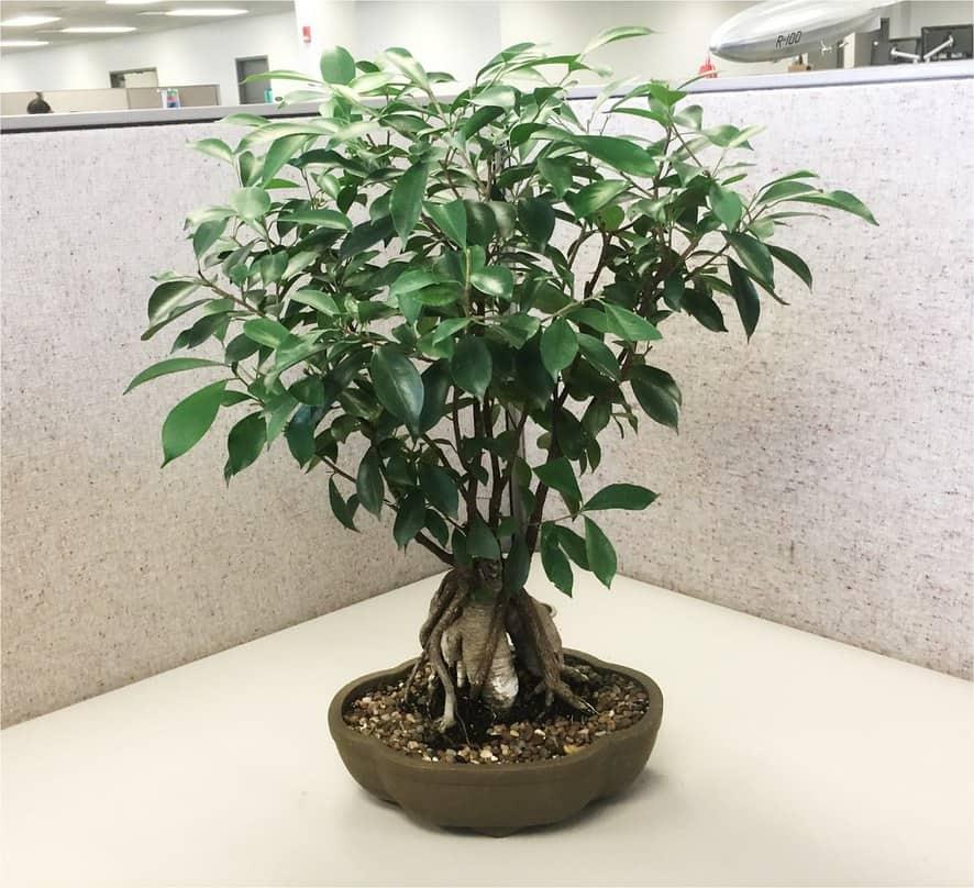 Fast Growing Indoor Plants - Ficus