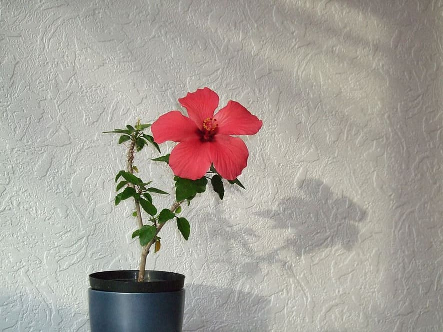 Fast Growing indoor plants - Hibiscus