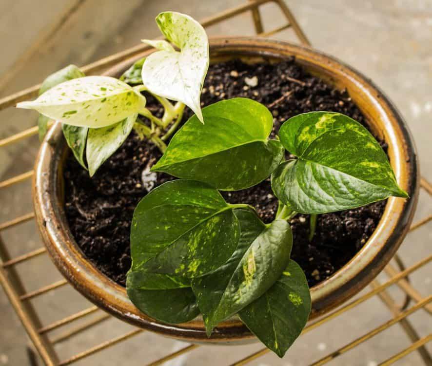 Fast Growing Hardy Indoor Plants - Pothos