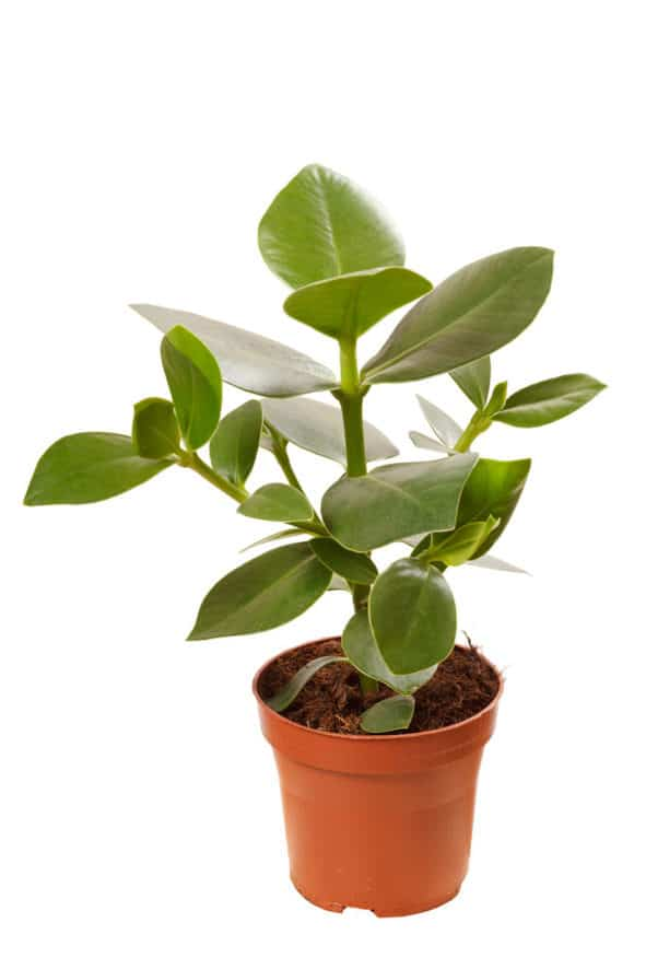Low Maintenance Indoor Rubber Plant