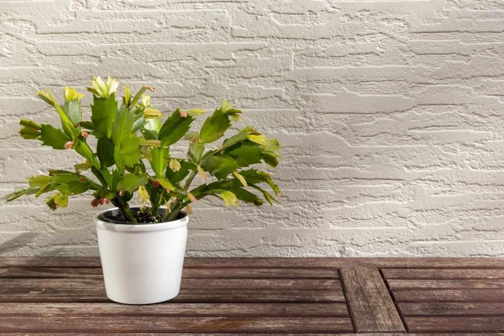 Indoor Plants as Gifts - Cactus