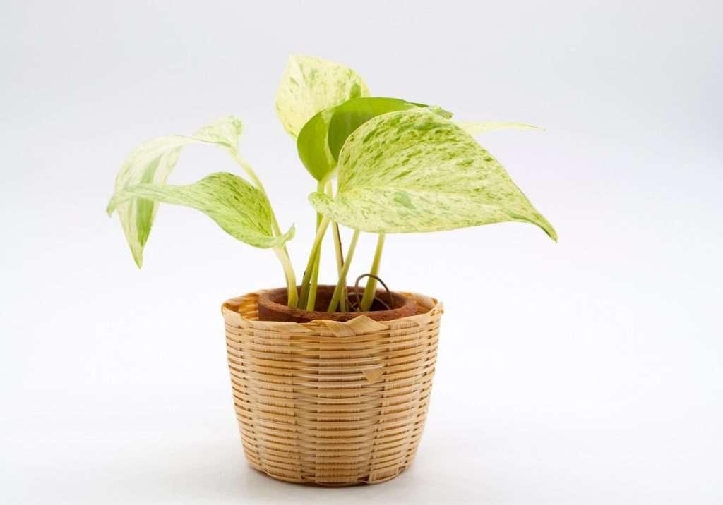 Houseplants for Low Light Areas - golden pothos