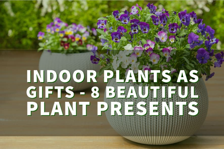 Indoor Plants as Gifts