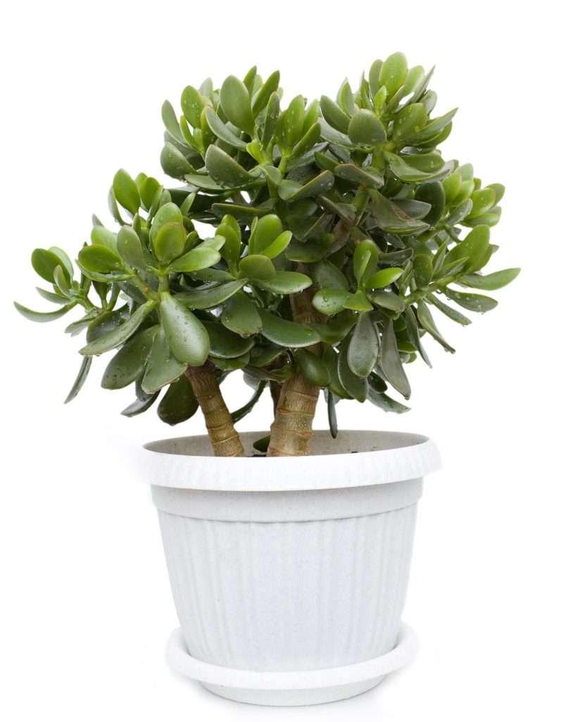 Jade Plant Gift