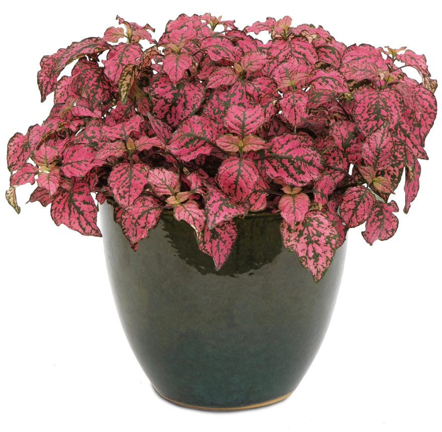 Polka Dot Plants as Gifts