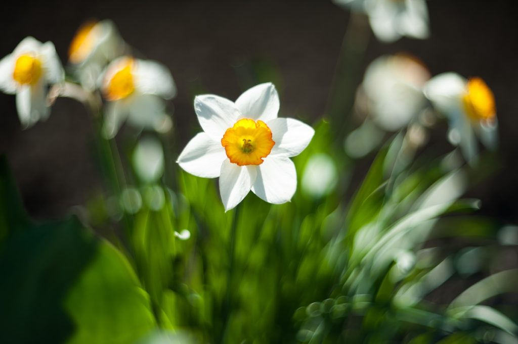 White Narcissus as Gift