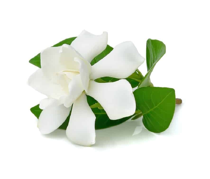 Gardenia - A great smelling plant for the kitchen