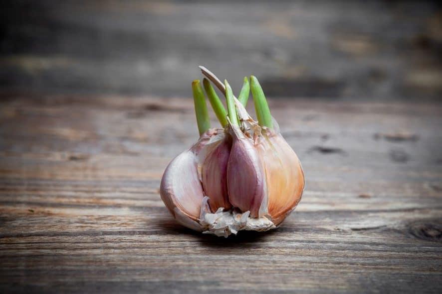 Growing Garlic Greens