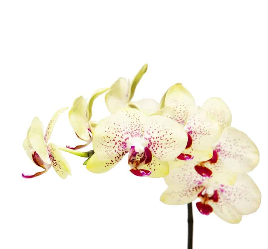 Great smelling orchids for the kitchen