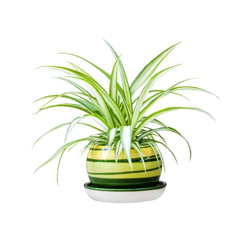 Spider Plant for dark areas