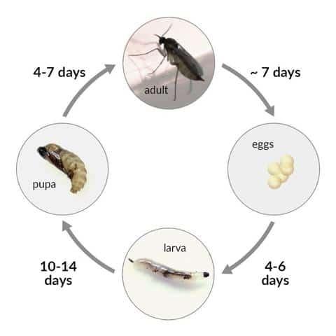 Eliminating Fungus Gnats