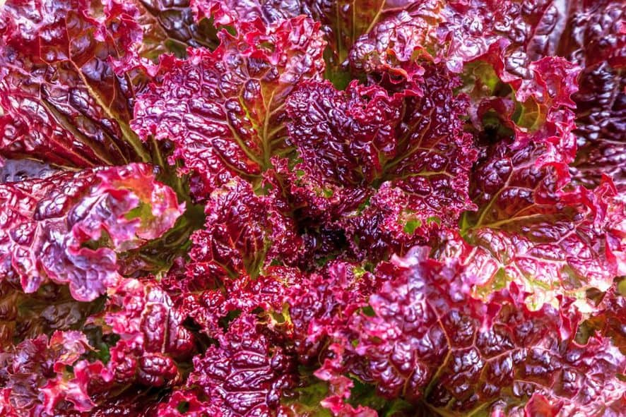 Growing Lollo Rosso lettuce at home
