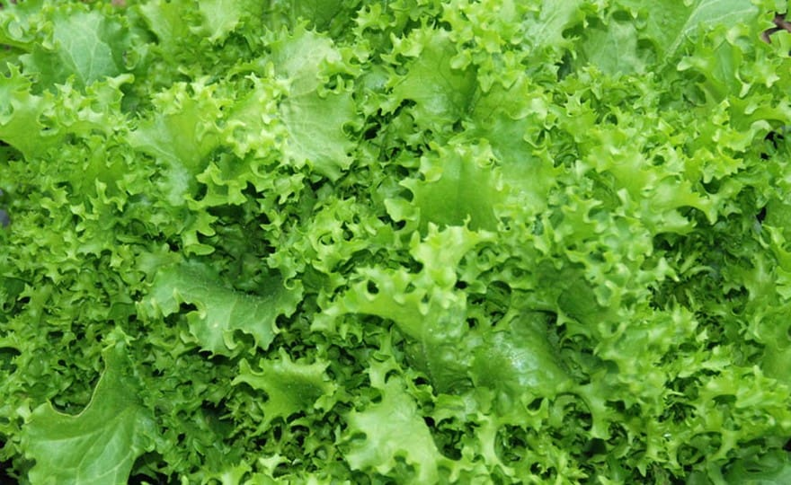 Grow Green Ice Lettuce at home