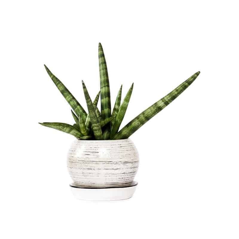 Snake Plant Low Maintenance