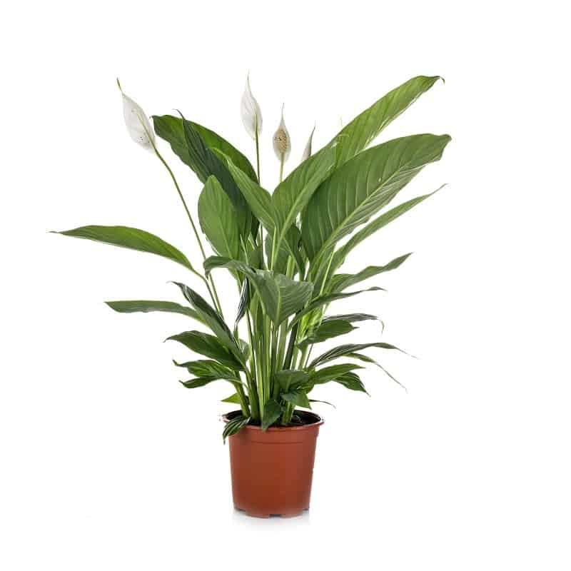 Peace Lily plants for dark areas