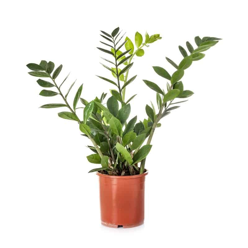 ZZ Plants for dark areas of your home