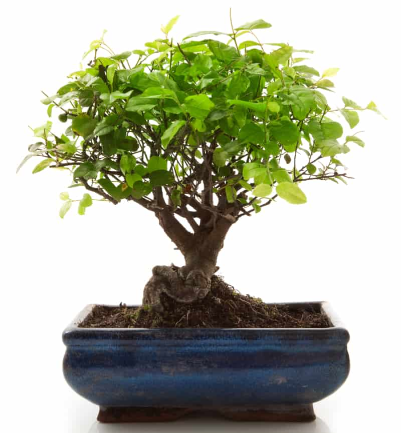 Bonsai Tree Basics