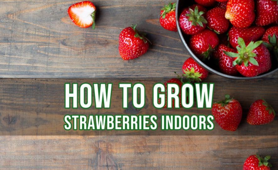 How to grow strawberries indoors