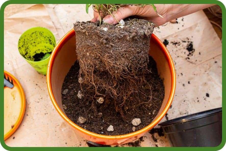 Loosen the Houseplant's Roots