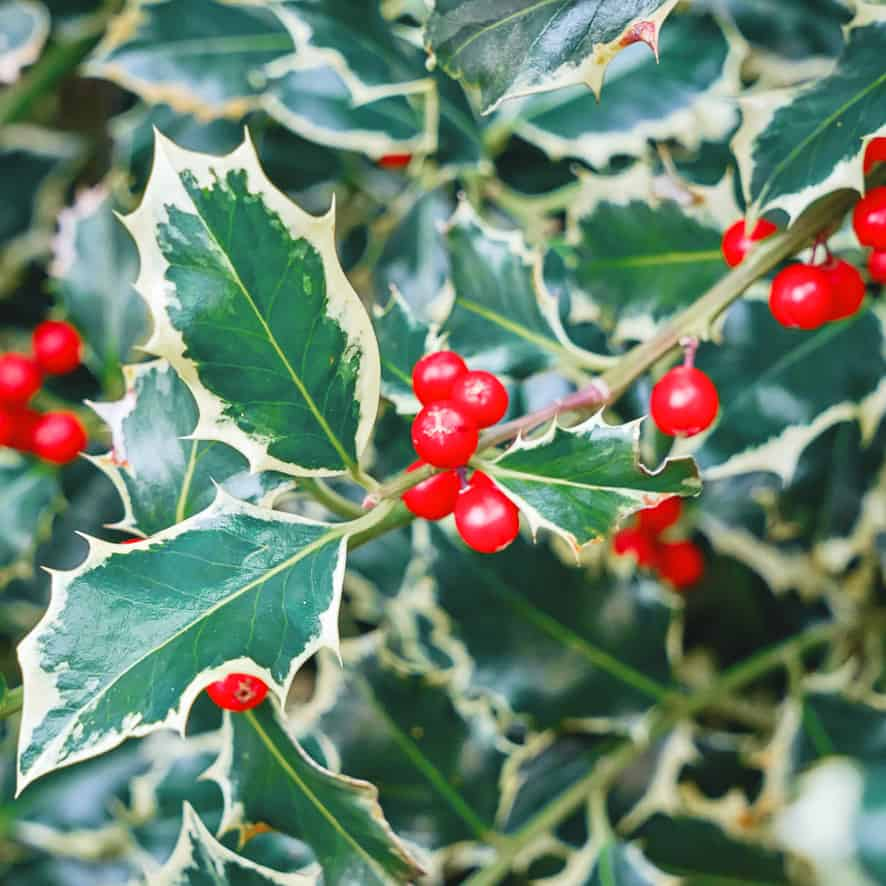 Holly Plant Gift Ideas
