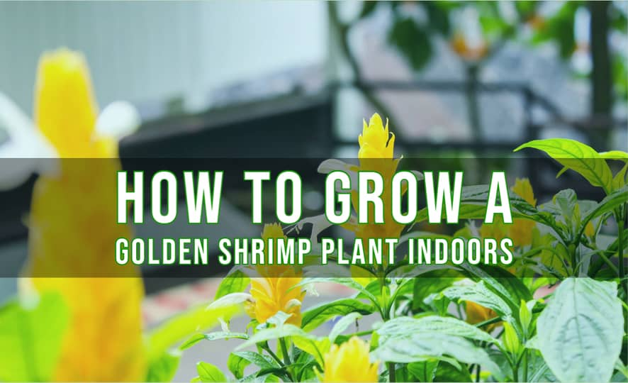How to Grow a Golden Shrimp Plant Indoors