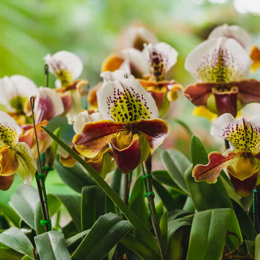 Lady's Slipper Orchid Indoor Plant Gift Ideas