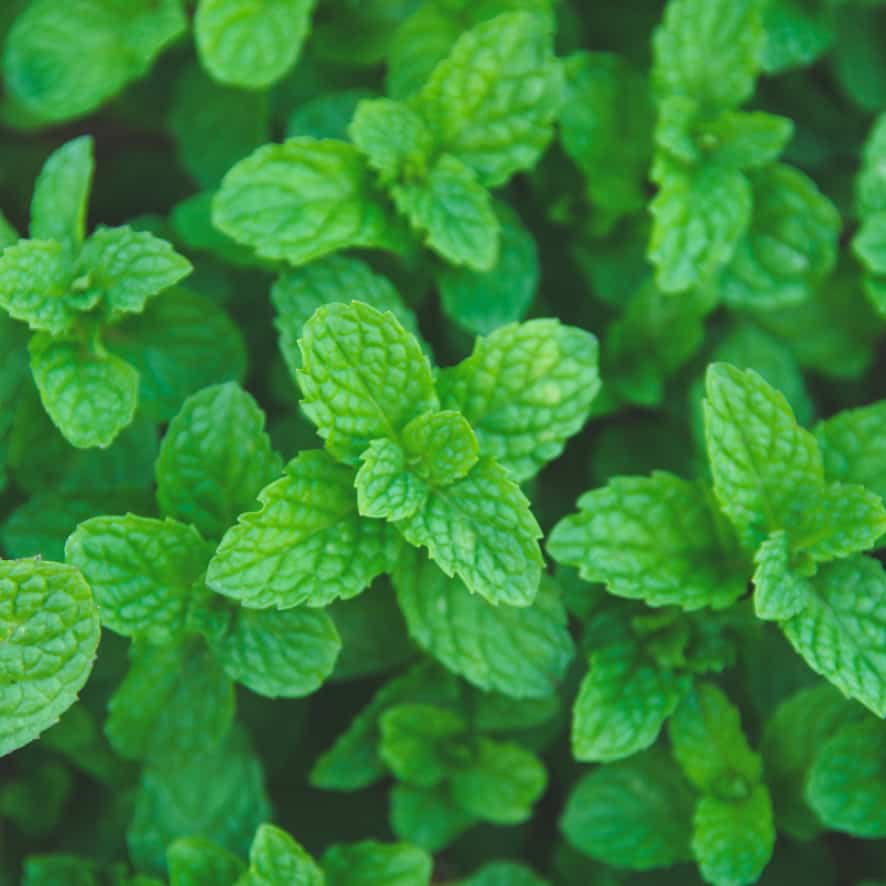 Peppermint Plants Low Maintenance