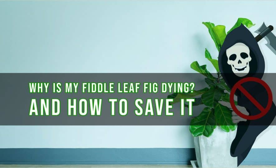 Why is My Fiddle Leaf Fig is Dying_