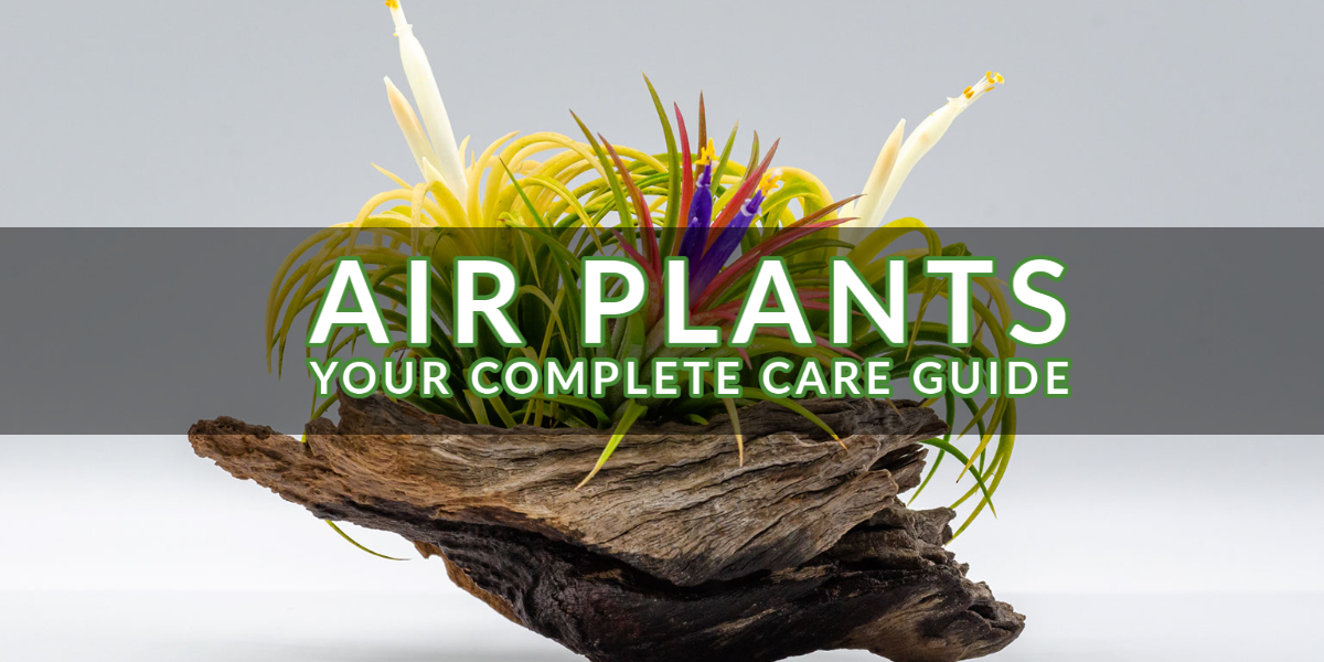 Air Plants_ Your Complete Care Guide