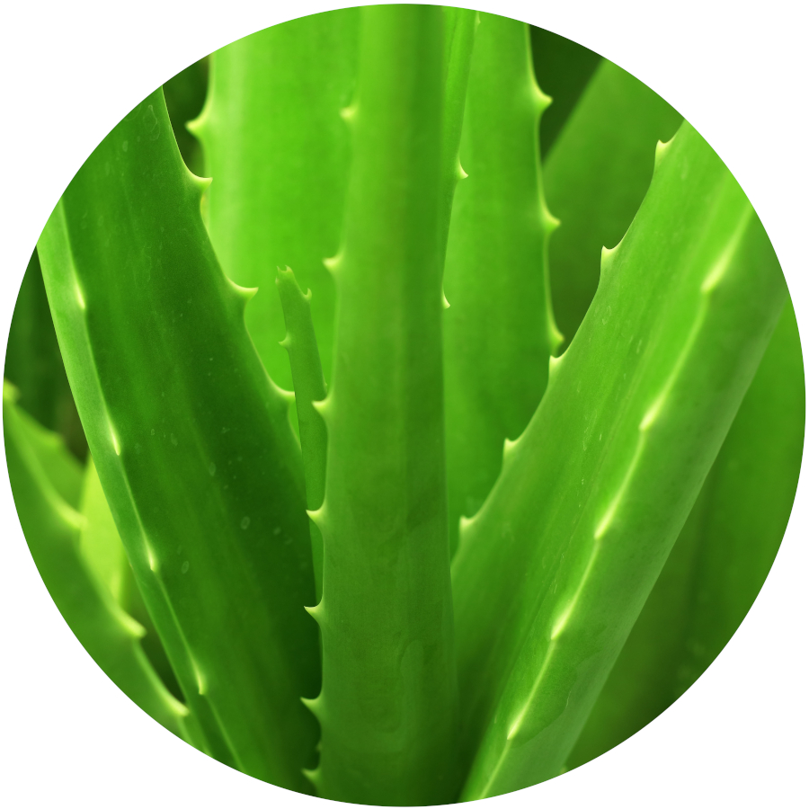 Aloe Poisonous to Cats and Dogs