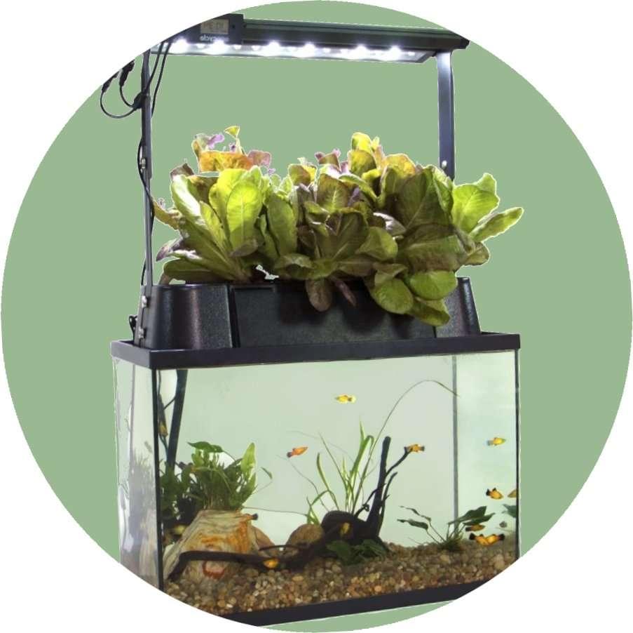 Aquaponic-Fish-Tank