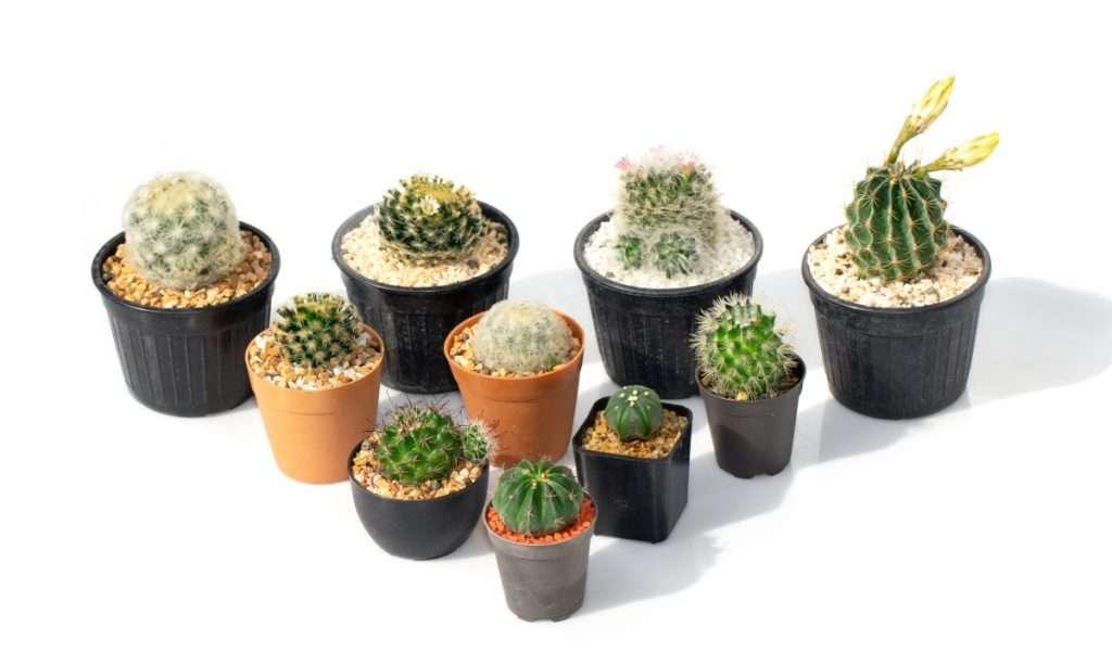 Cacti Care Guide