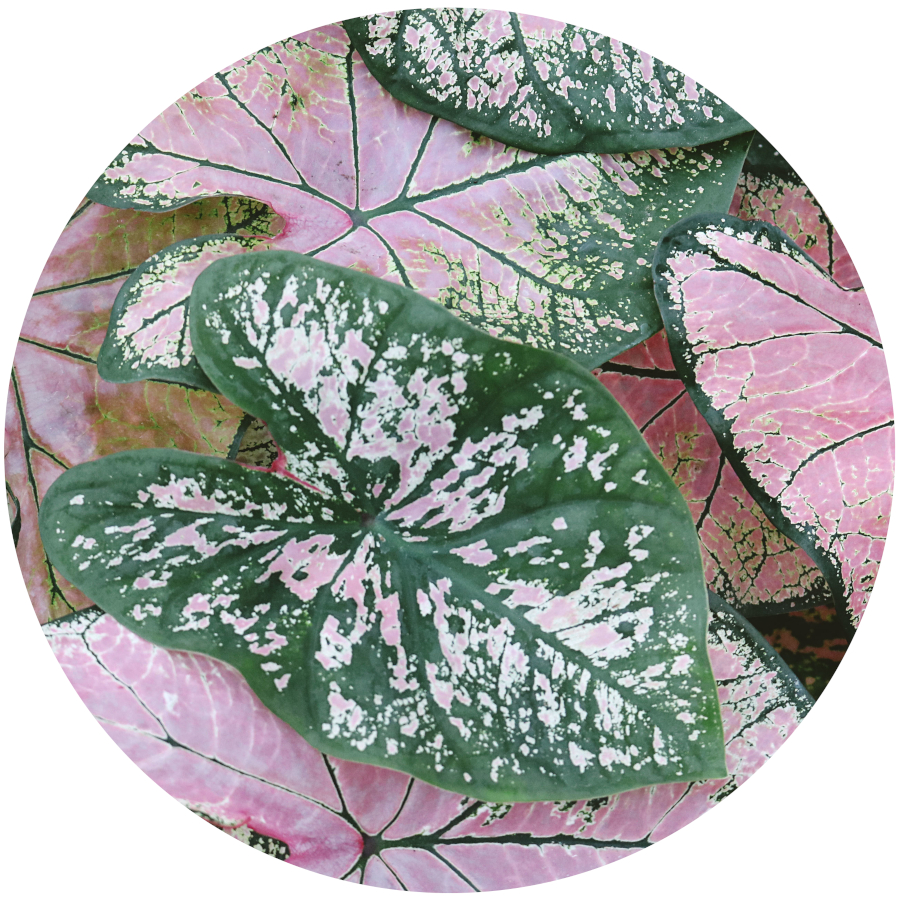 Caladium - Poisonous Plants