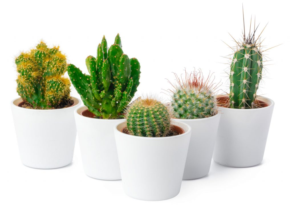 Caring for Cactus Indoors