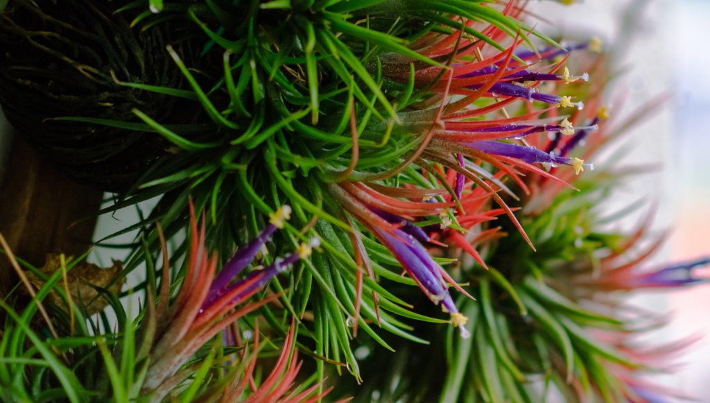 Colorful Air Plants
