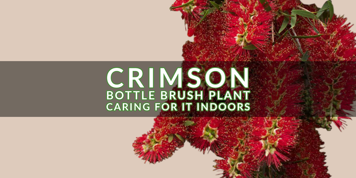 Crimson Bottle Brush Plant_ Caring for it Indoors