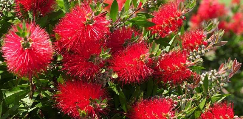 Crimson Bottle Brush Plant