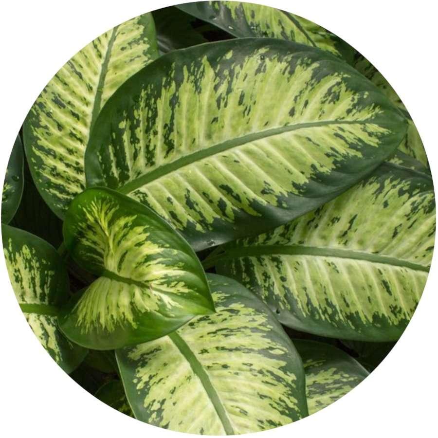 Dieffenbachia - Poisonous Plants