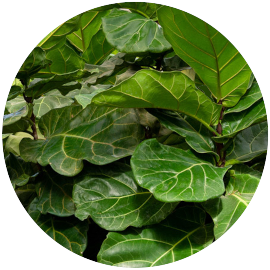 Fiddle Leaf Fig Poisonous Plants