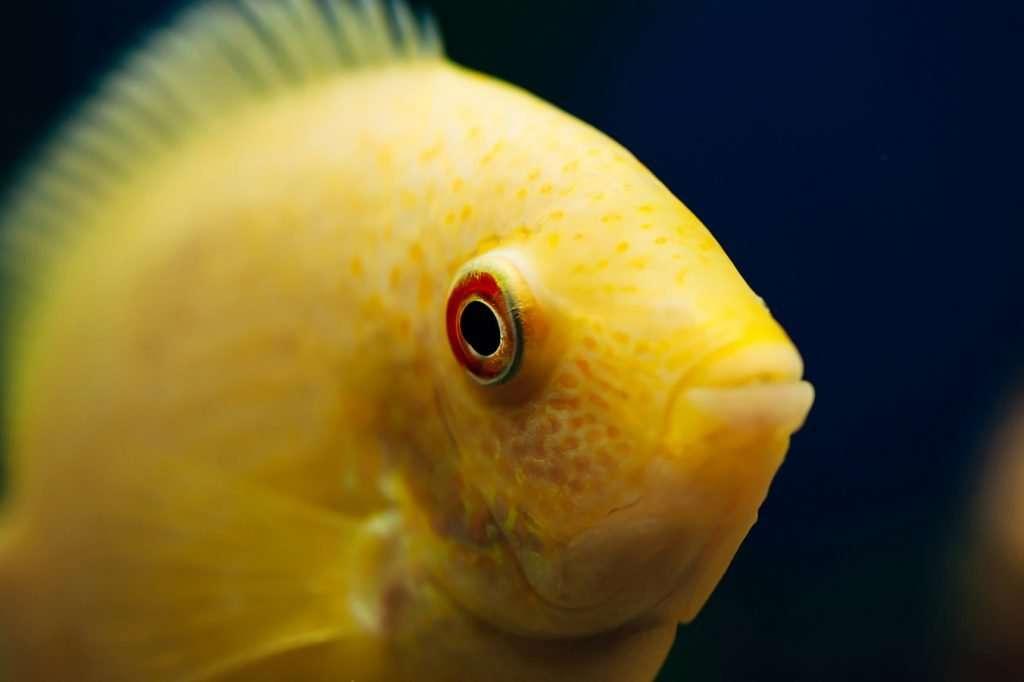 Fish for Aquaponics Tank