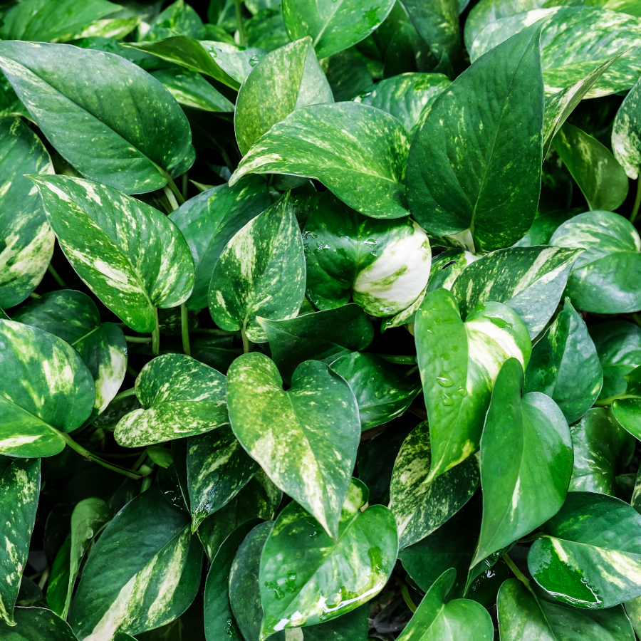 Low Maintenance Pothos