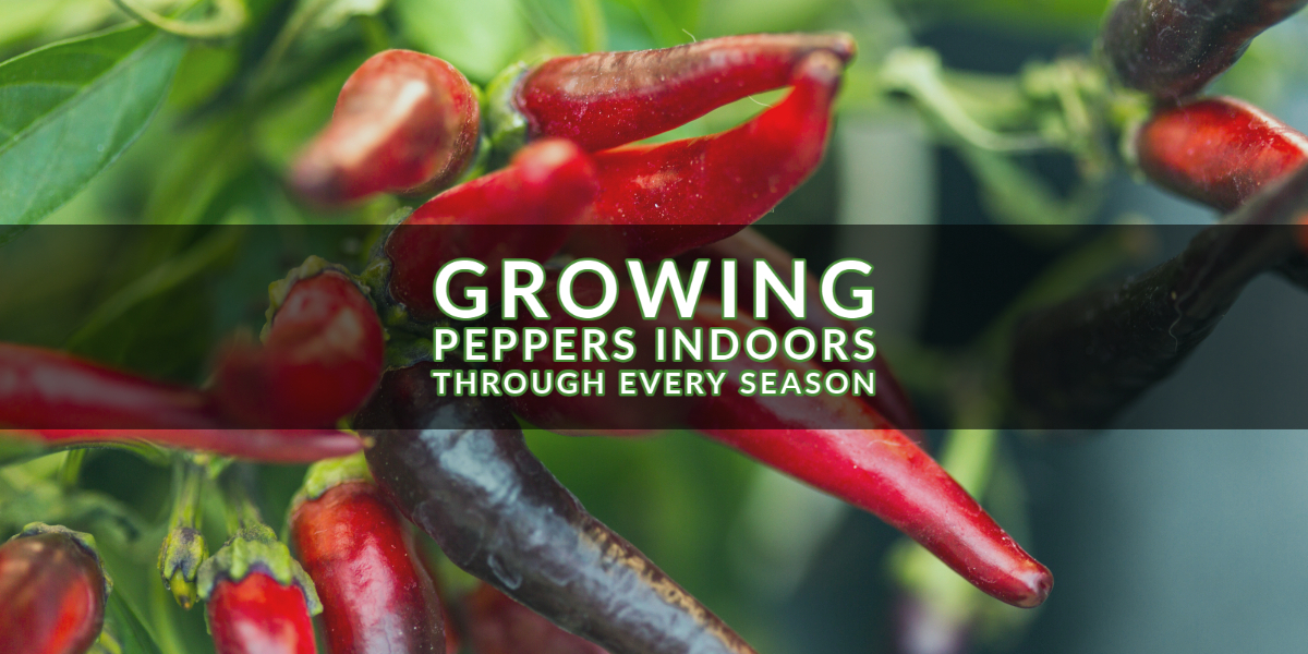 Growing Peppers Indoors Through Every Season