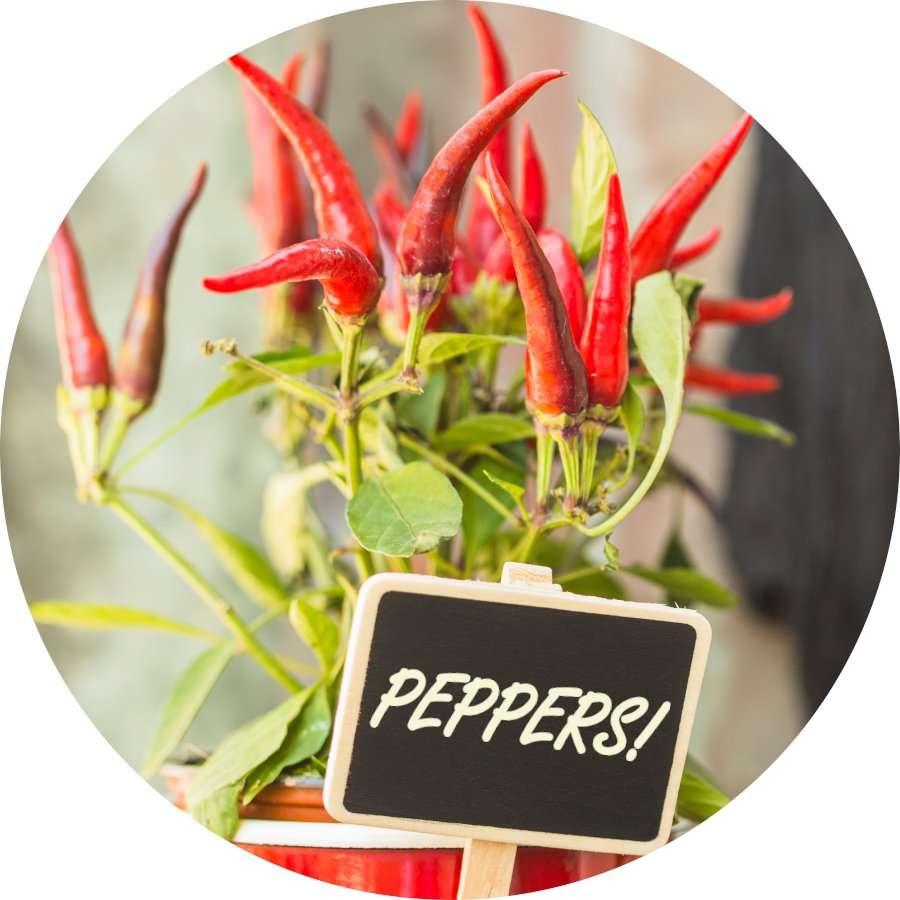 Indoor Pepper Plant