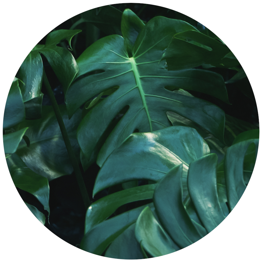 Philodendron Poisonous for Pets